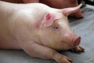 In sieben von 20 Döner Proben wurde Schweinefleisch nachgewiesen
